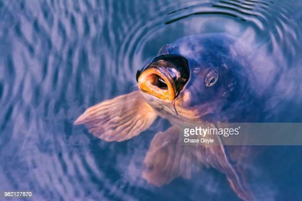a koi carp surfacing in the shinjuku gyoen national garden, tokyo, japan - carp stock photos and pictures