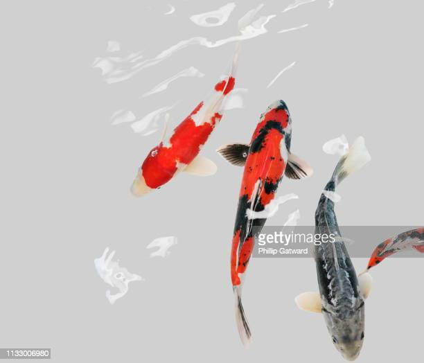koi carp swimming - koi carp - fotografias e filmes do acervo