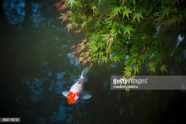 koi carp swimming under maple tree - koi carp photos et images de collection