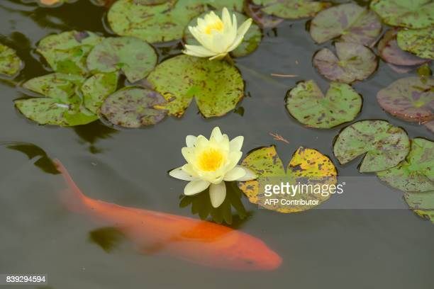 A koi carp swims under water lilies at the LatourMarliac nursery in Le TemplesurLot southwestern France on August 23 2017 The LatourMarliac nursery a...