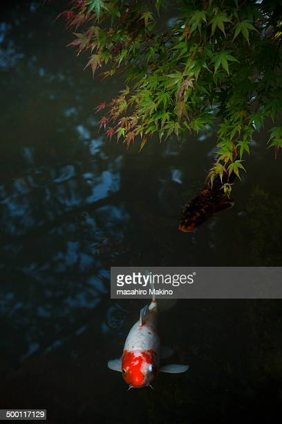 Koi carps in a pond swimming under Japanese maple
