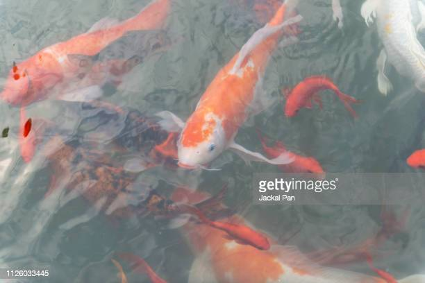 koi carps swimming in a pond - goldfish leap stock pictures, royalty-free photos & images