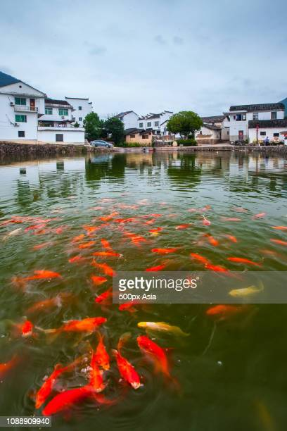 koi carps swimming in pond in village, nanjing, jiangsu province, china - image stockfoto's en -beelden
