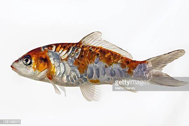 koi fish. domesticated variety of the common carp (cyprinus carpio) bred in different colour patterns. against white background. - koi carp photos et images de collection