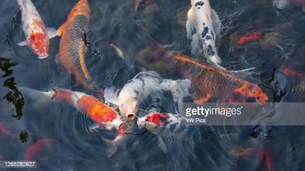 Koi fish in pond at Lan Su Chinese Garden in Portland, Oregon.