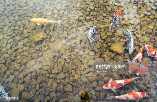 koi fish - aquatic organism stock pictures, royalty-free photos & images