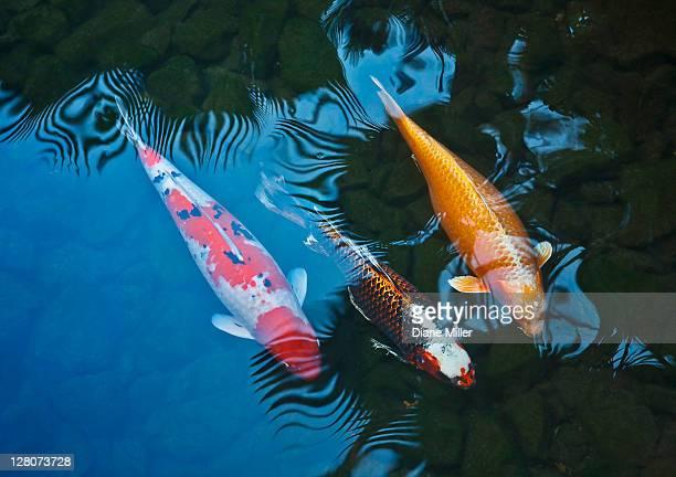 koi fish - koi carp stock photos and pictures