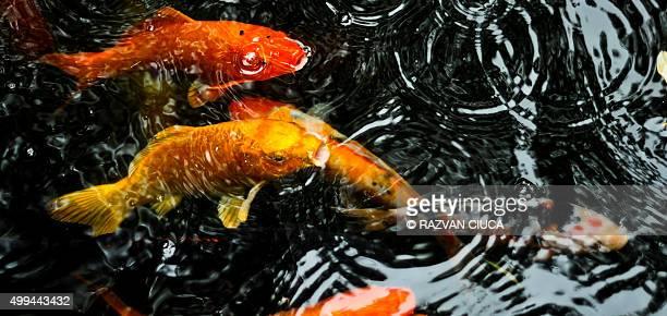 koi fish - koi carp stock pictures, royalty-free photos & images