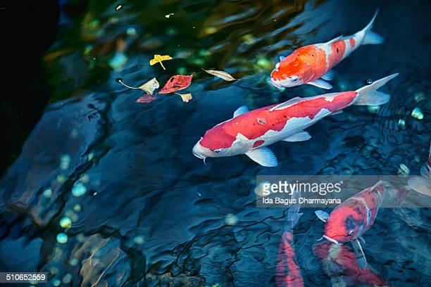 koi fish - koi carp - fotografias e filmes do acervo