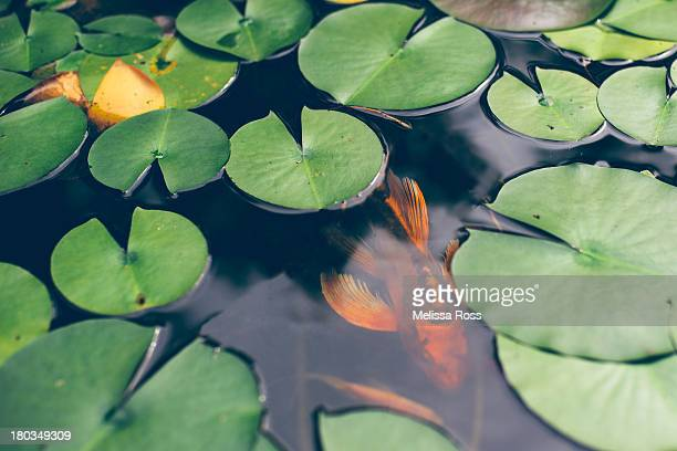 A koi fish swimming underneath lily pads in a pond