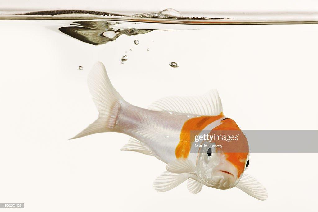 Koi fish underwater : Stock Photo