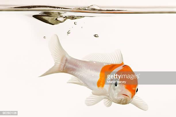 koi fish underwater - koi carp stock photos and pictures