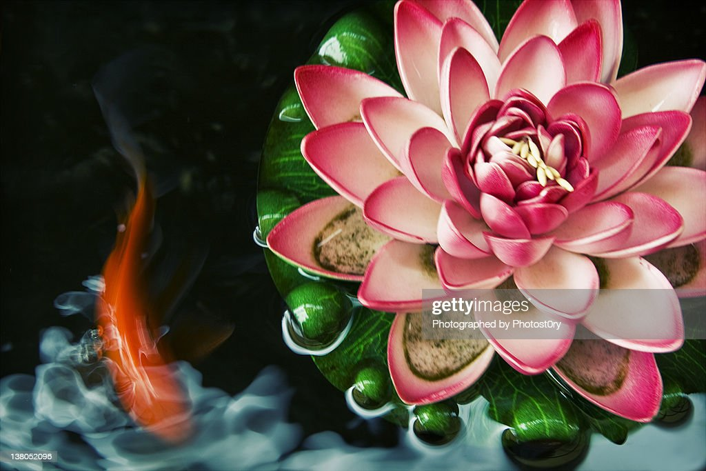 Koi fish with pink water lily in pond stock photo getty for Koi fish in water