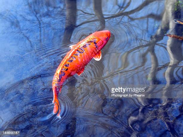 Koi out for swim