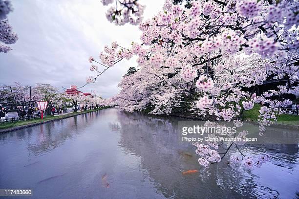 koi under sakura. - aomori prefecture stock pictures, royalty-free photos & images