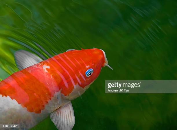 Koi with blue rimmed eye