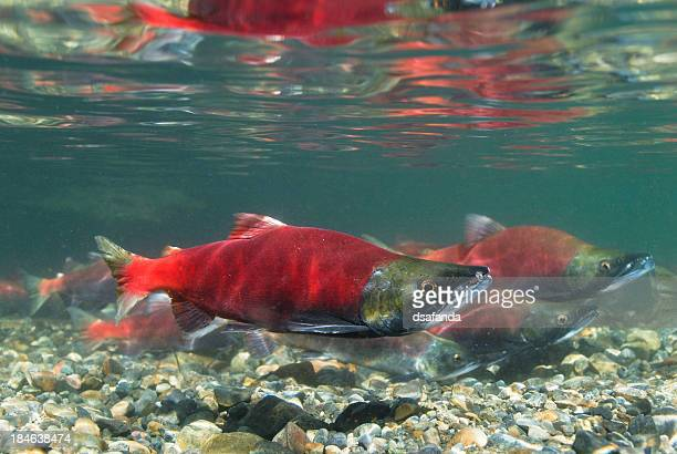 Kokanee Salmon Spawning