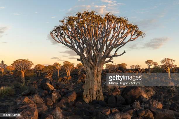 kokerboom trees growing in rocky terrain - köcherbaum stock-fotos und bilder