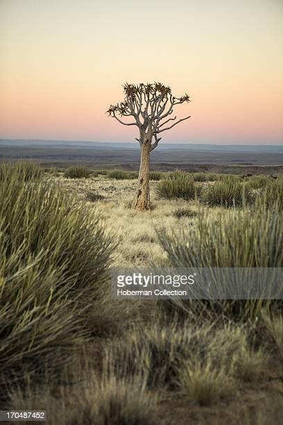 Kokerboon tree in field with sunset