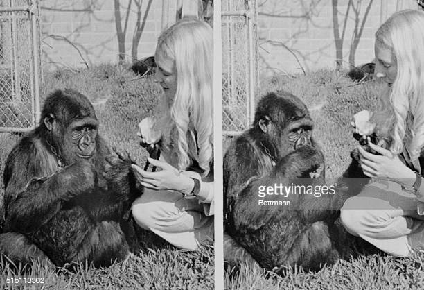 Koko now 31/2 has learned 120 sign language signals Miss Patterson a Stanford student working on her PHD chose sing language for Koko because...