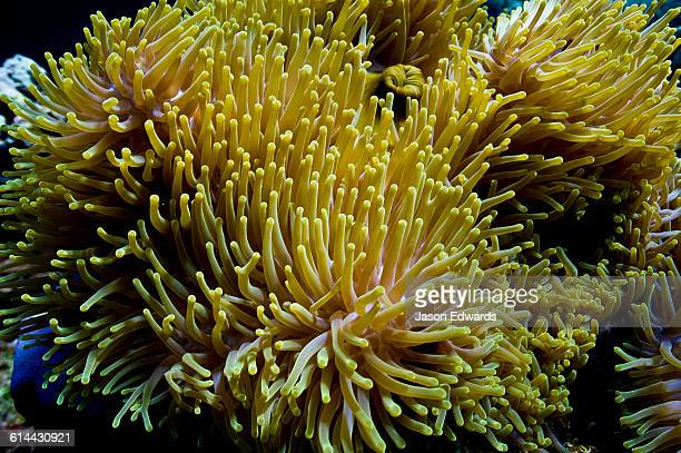 The venomous tentacles of a sea anemone living on a coral reef.