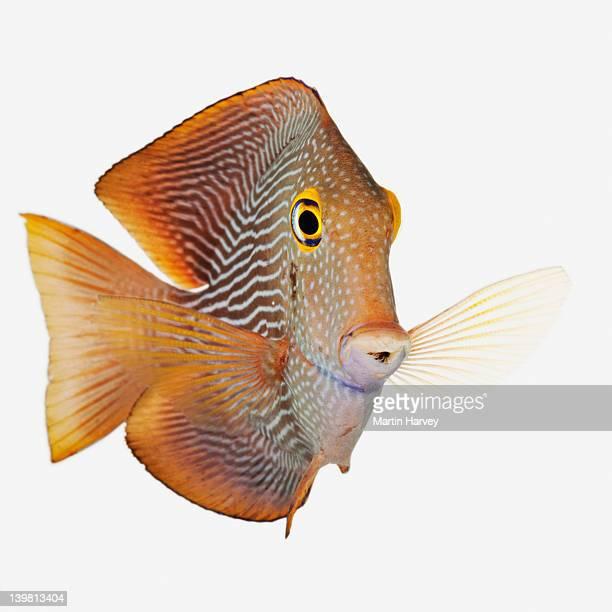 kole tang fish (ctenochaetus strigosus), studio shot against white background - poissons exotiques photos et images de collection