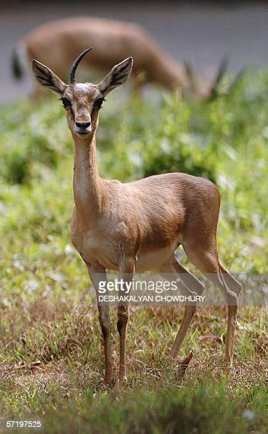 30 Top Chinkara Pictures, Photos and Images - Getty Images