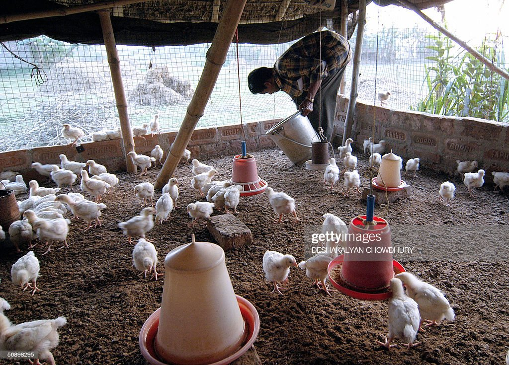 An Indian farmer distributes food to his chickens at a