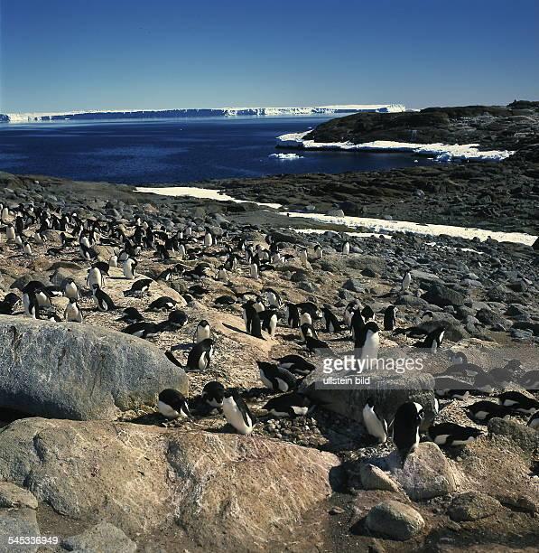 Kolonie von AdeliePinguinenin der Antarktis 1999
