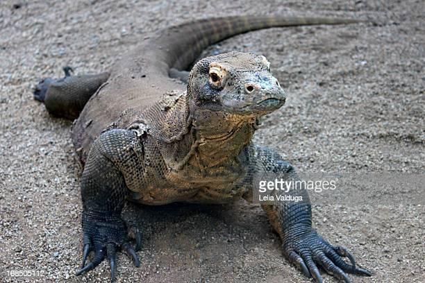 Komodo Dragon - A vulnerable species.