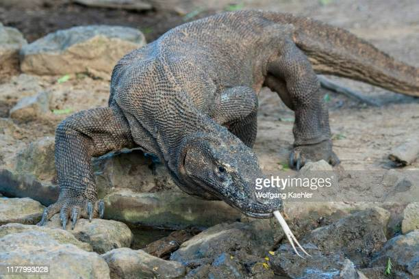 Komodo dragon at a waterhole in the forest on Komodo Island, part of Komodo National Park, Indonesia.