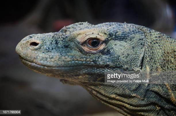 komodo dragon (komodo monitor), barcelona zoo - komodo dragon stock pictures, royalty-free photos & images