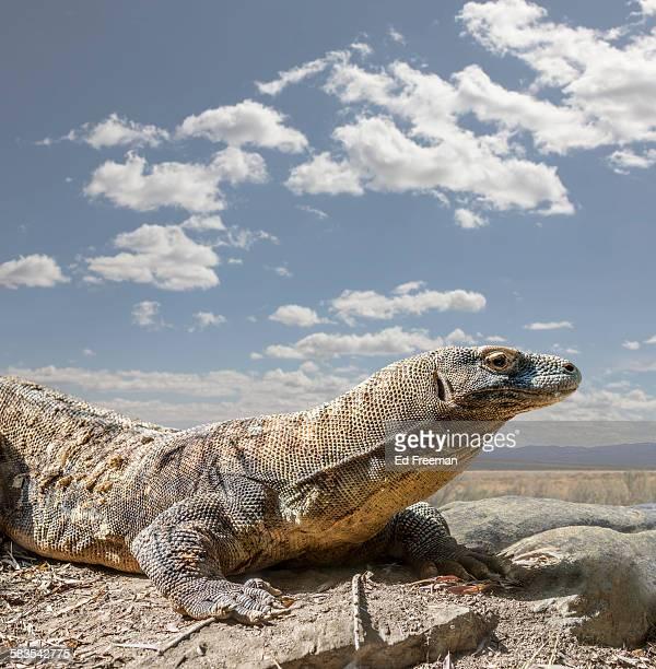 komodo dragon in naturalistic setting - komodo fotografías e imágenes de stock