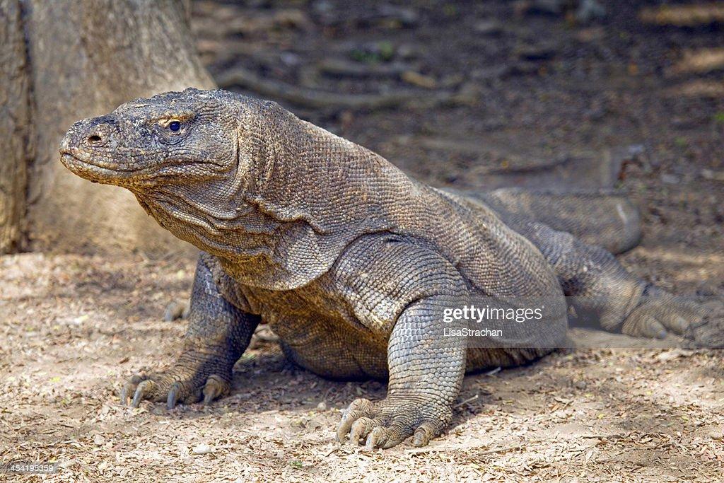 Dragón de Komodo salvaje, Indonesia. : Foto de stock