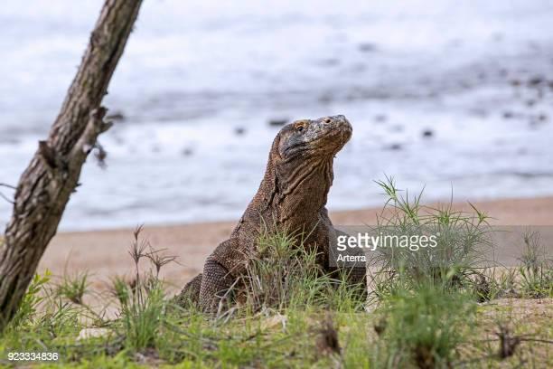 Komodo dragon Komodo monitor leaving the beach on the island Rinca in the Komodo National Park Indonesia