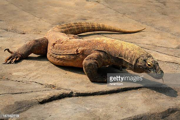 komodo dragon lizard - komodo dragon stock pictures, royalty-free photos & images