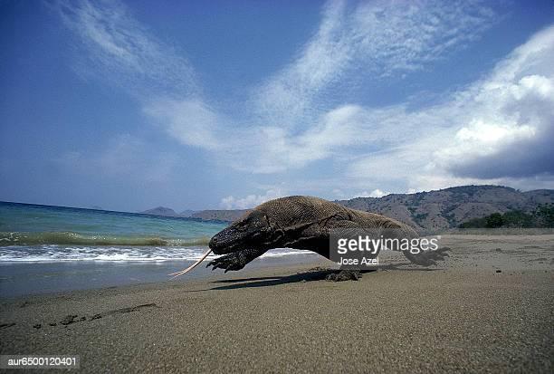 komodo dragon on a sandy beach, indonesia. - komodo fotografías e imágenes de stock