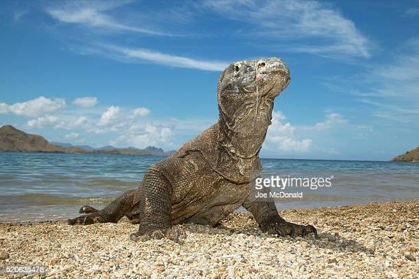 komodo dragon on beach on komodo island - komodo fotografías e imágenes de stock
