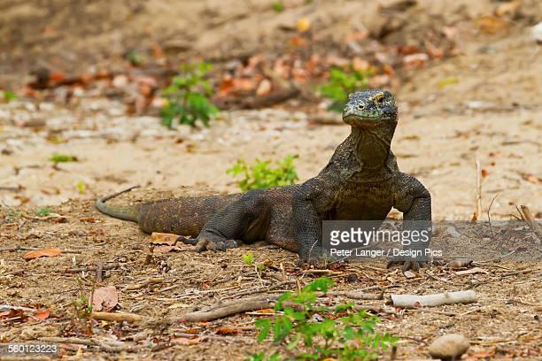 komodo dragon or komodo monitor (varanus komodoensis) on rinca island, komodo national park, east nusa tenggara, indonesia - rinca island stock pictures, royalty-free photos & images
