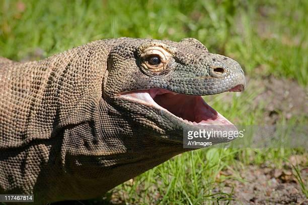 komodo dragon (varanus komodoensis) - komodo dragon stock pictures, royalty-free photos & images