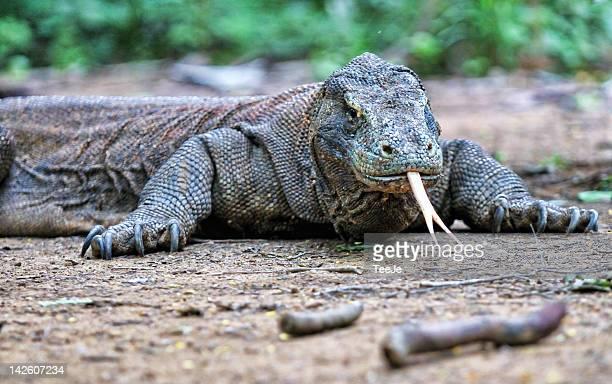 komodo dragon - flores indonesia fotografías e imágenes de stock