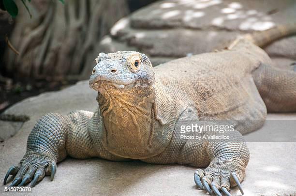 komodo dragon - komodo dragon stock pictures, royalty-free photos & images