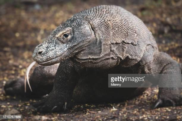 dragón de komodo sobresaliendo lengua parque nacional de komodo - especies amenazadas fotografías e imágenes de stock