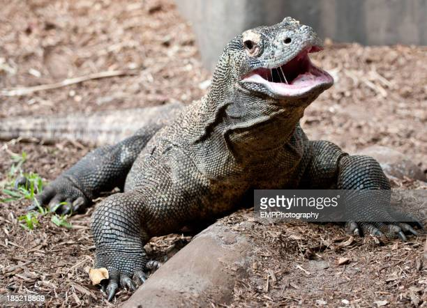 Komodo Dragon with Mouth Open