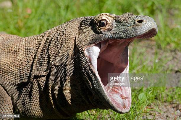 Komodo dragon with open mouth