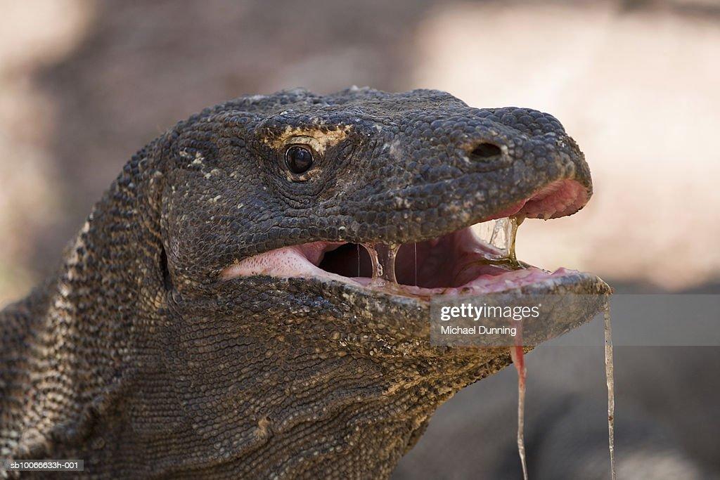 Komodo island komodo dragon closeup stock photo getty images - Images de dragons ...