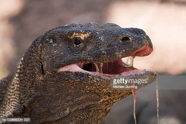 komodo island, komodo dragon, close-up - komodo fotografías e imágenes de stock