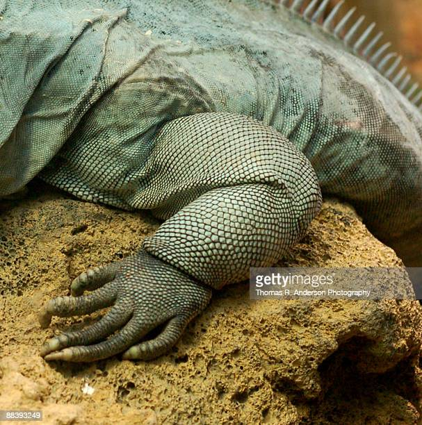 komodo - komodo dragon stock pictures, royalty-free photos & images