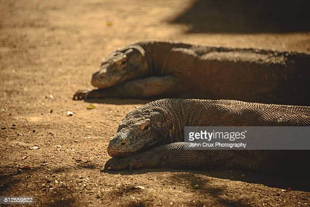komodo twins - rinca island stock pictures, royalty-free photos & images