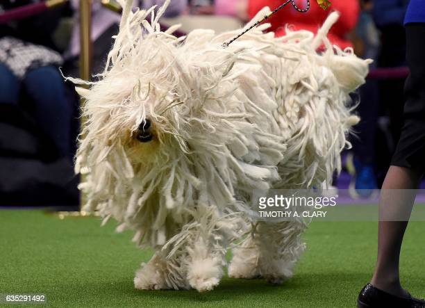 Komondor BettyBoop is seen in the judging area during day two of competition at the Westminster Kennel Club 141st Annual Dog Show in New York on...